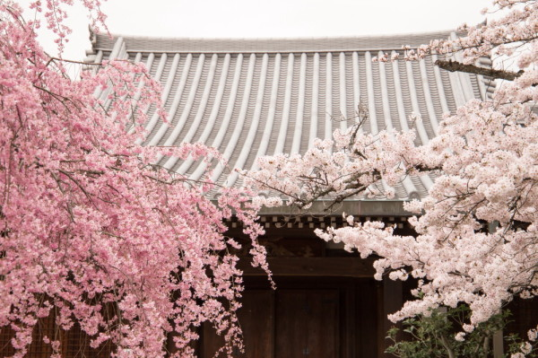 sakura and roof tiles #4