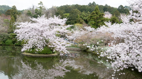 Sakura in a pond