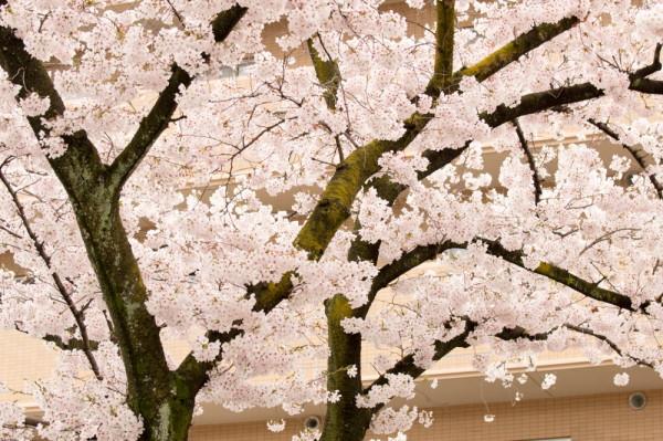 Sakura and an apartment