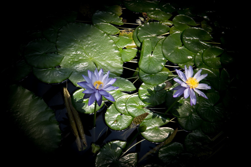 waterlily #2