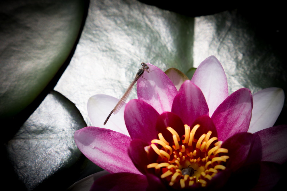 dragonfly and waterlily