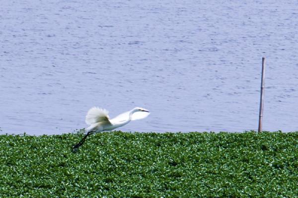 Egret #2