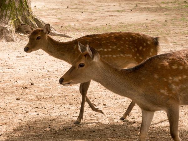 dear deer #1