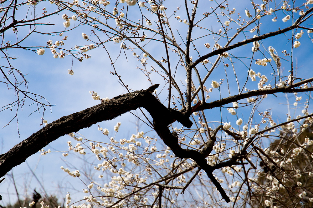 in the plum orchard #2