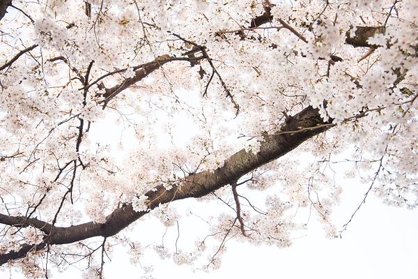 Sakura, so bright !