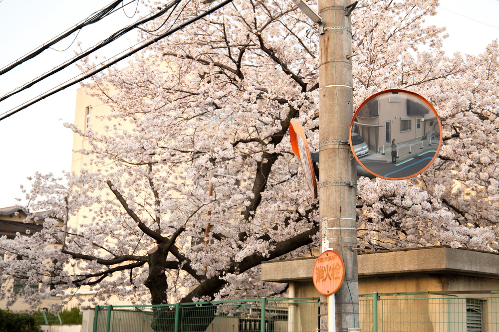 Sakura and selfie
