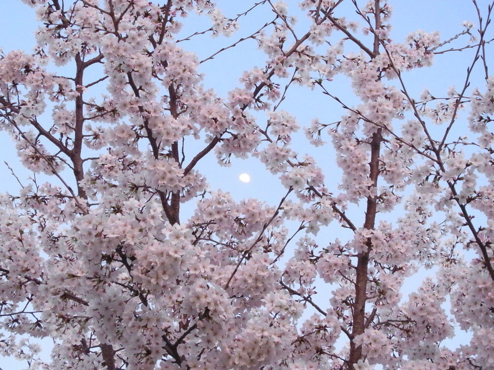 Sakura and the moon