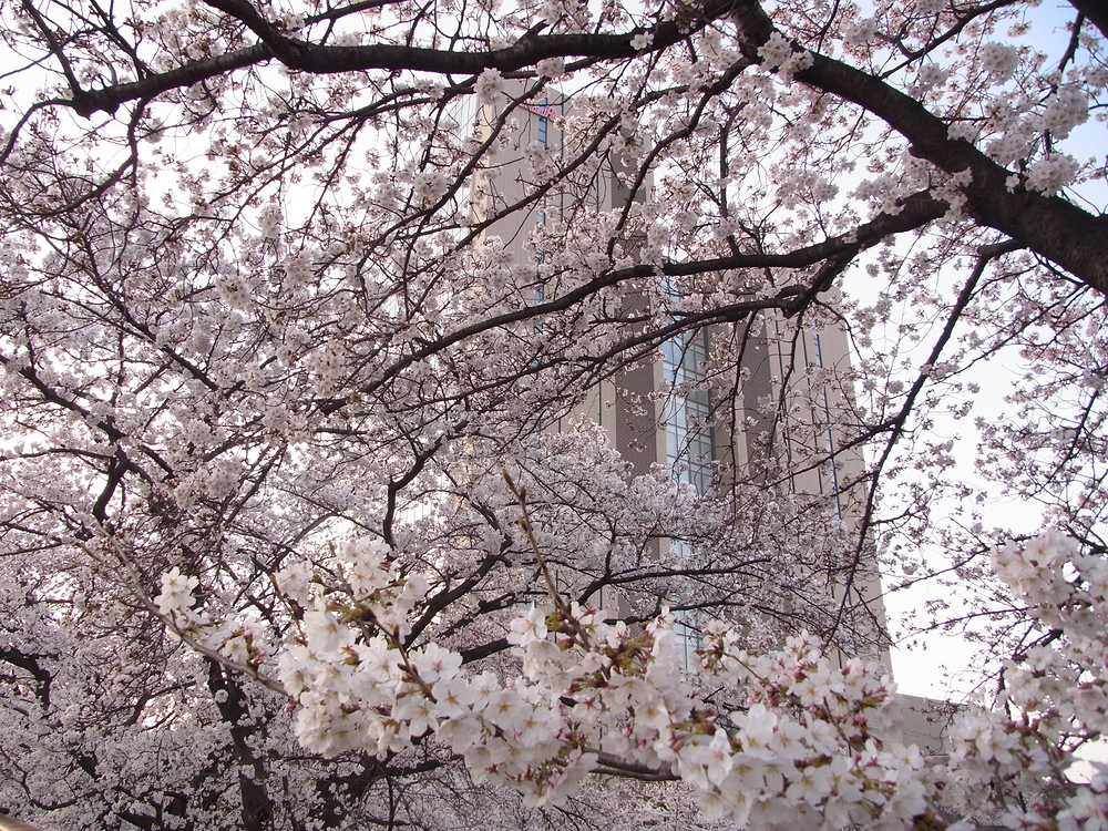 Sakura and building