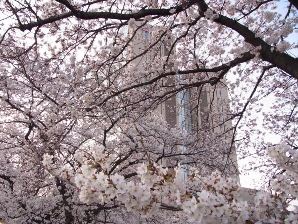 Sakura and building