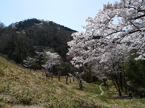 Sakura and mountain