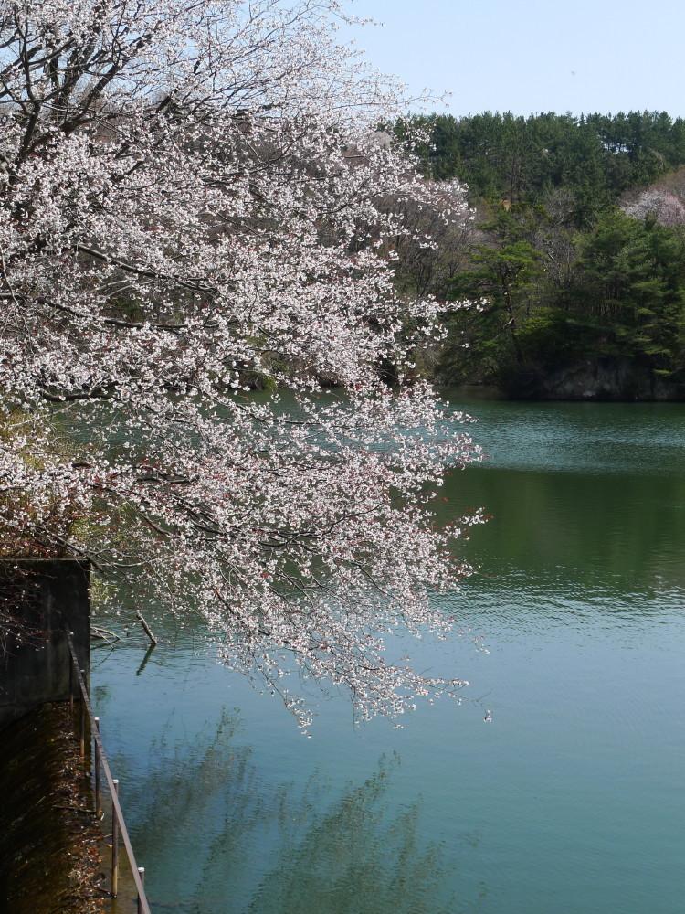 Sakura and its reflection