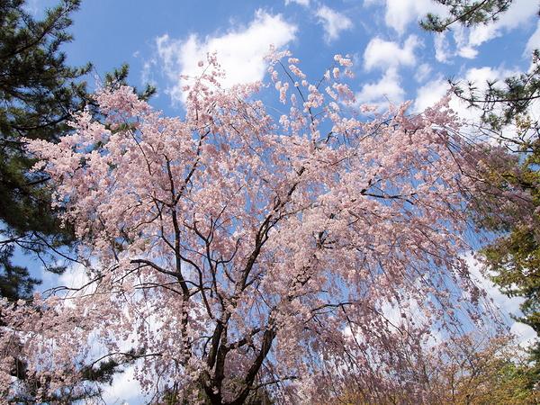 Weeping Sakura #1