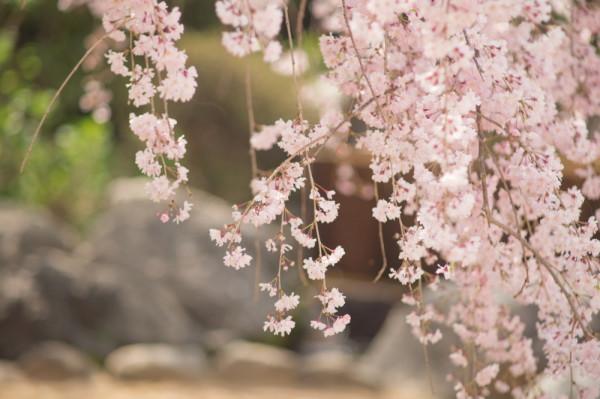 Weeping Sakura #2