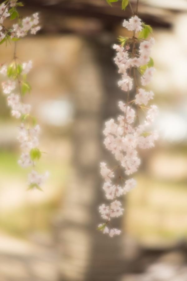Weeping Sakura #3