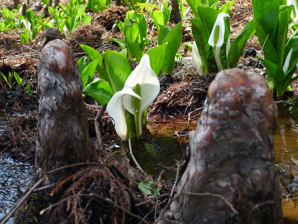 skunk cabbage and cypress knee #2