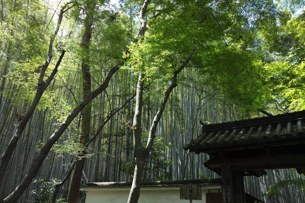 bamboo forest #1