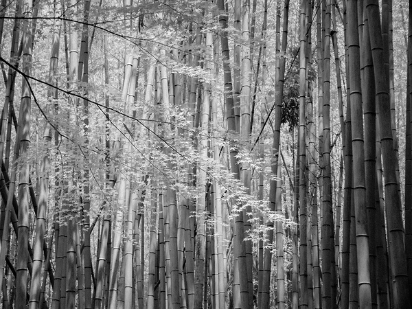 bamboo forest #2