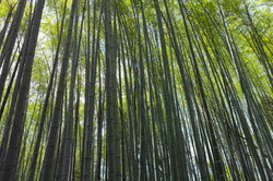 bamboo forest #3