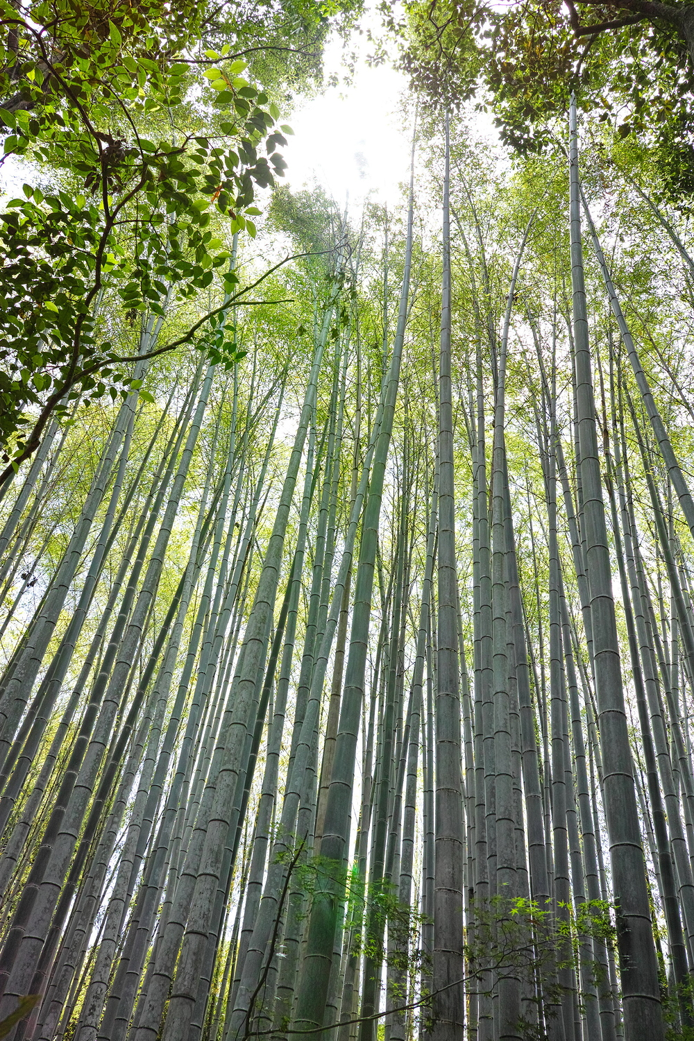 bamboo forest #4