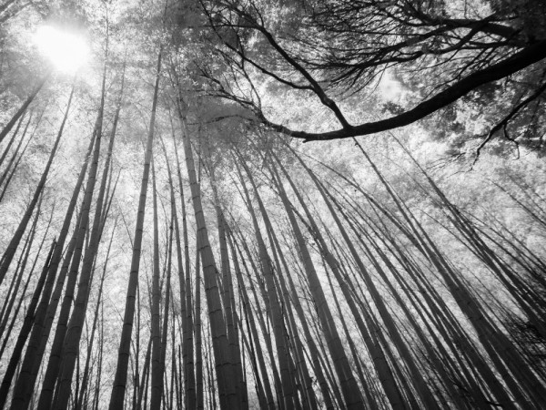 bamboo forest #5