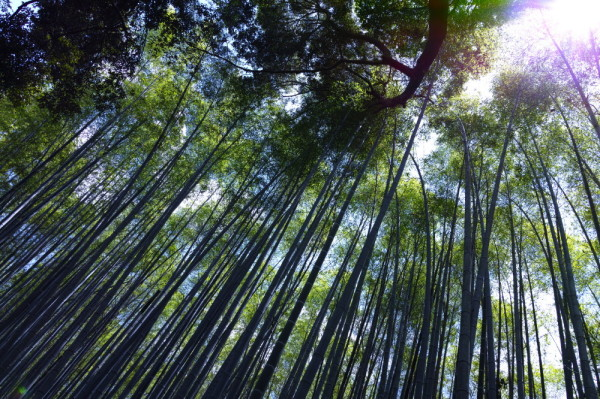 bamboo forest #6