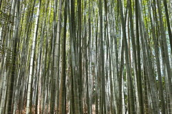 bamboo forest #7