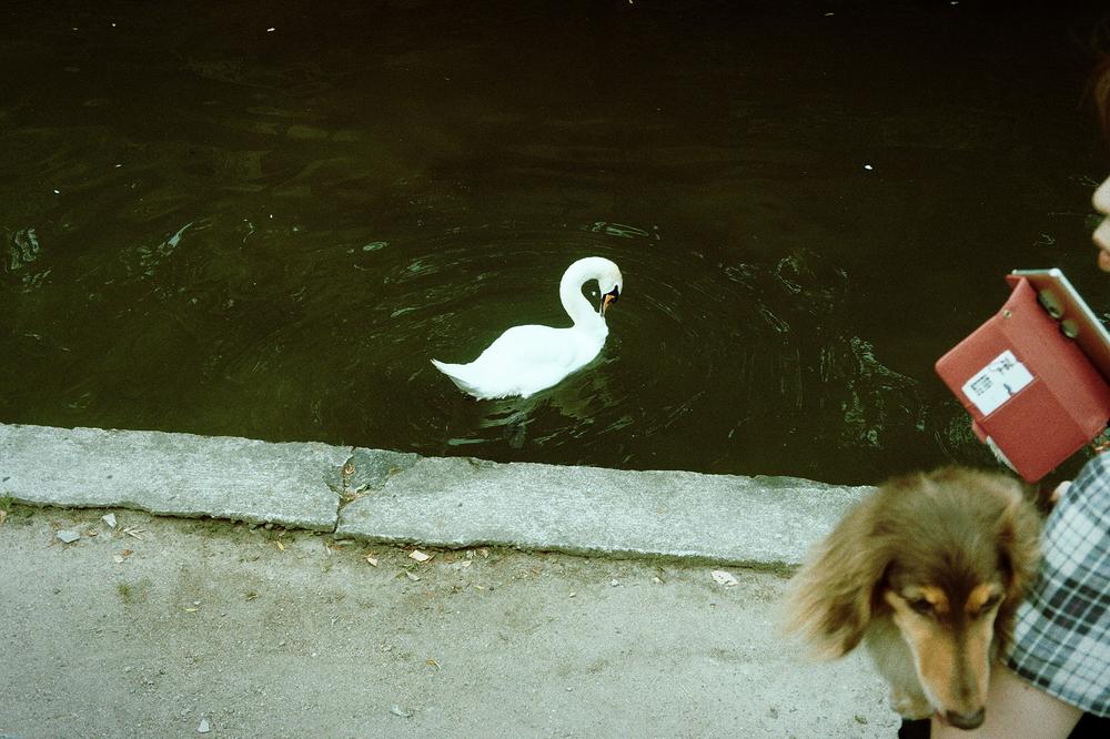 I don't like swans !