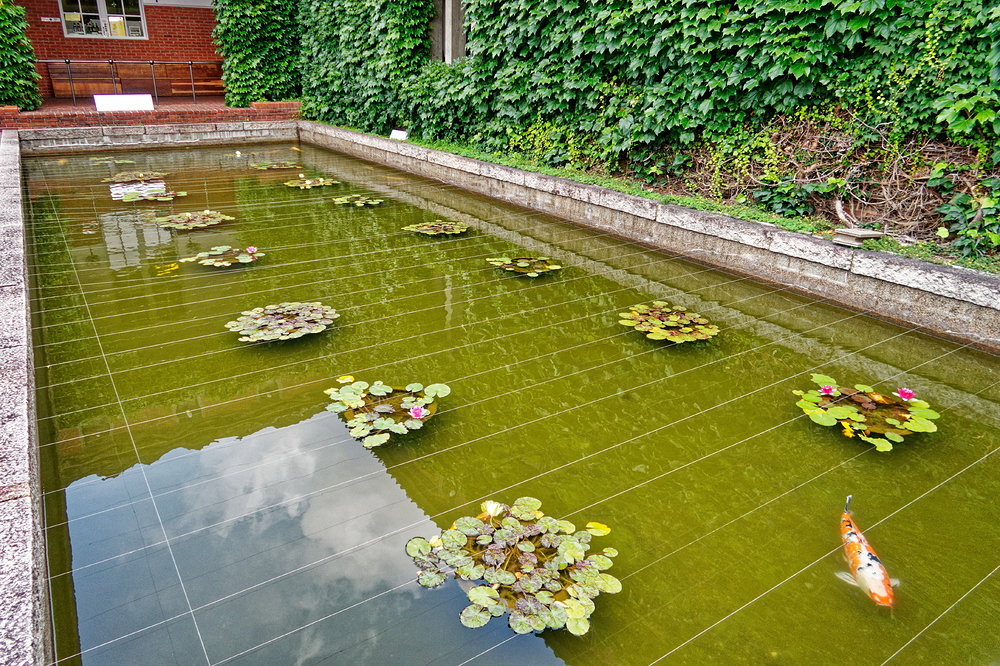 a carp in a pool