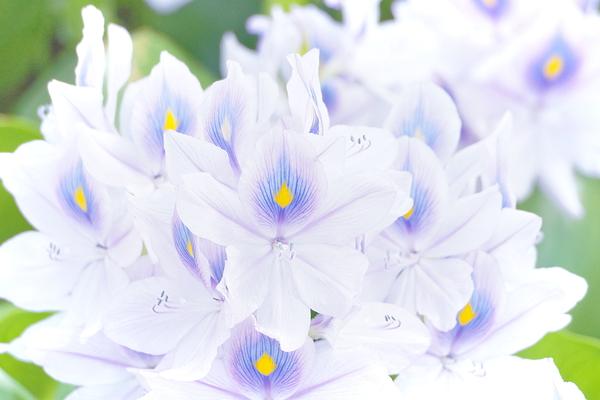 Water hyacinth #2