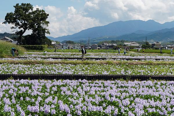 Water hyacinth #1