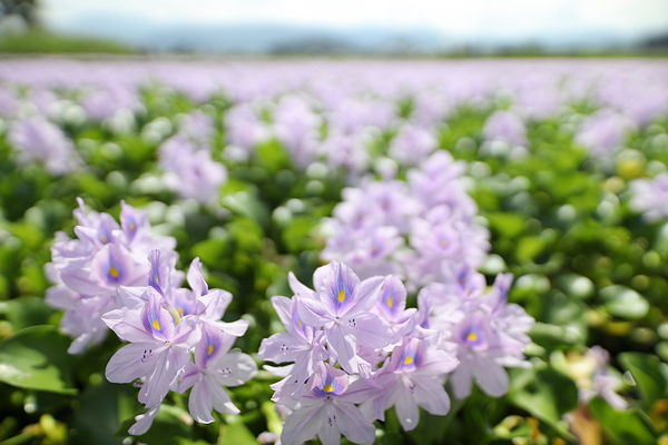 Water hyacinth #3