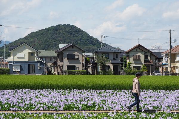 Water hyacinth #5