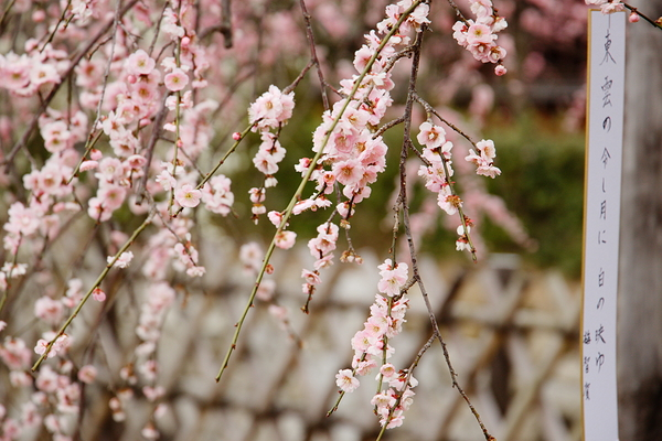 Early spring, Japanese plum comes #2