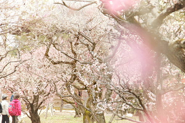Early spring, Japanese plum comes #3