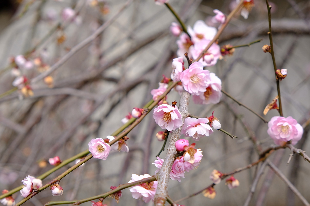 Early spring, Japanese plum comes #8