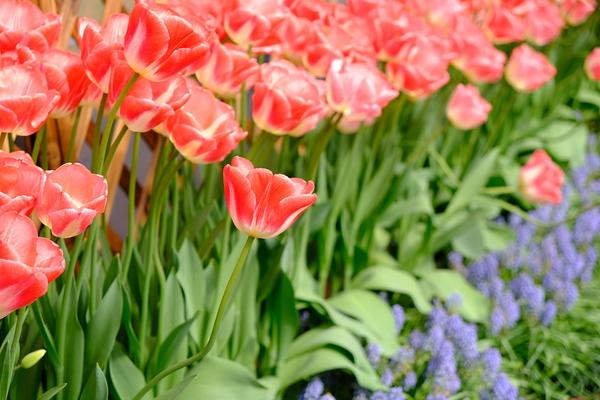 Do you like tulips ? #4