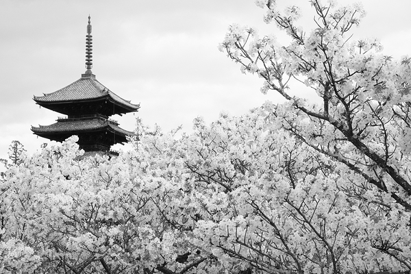 cloud of blossoms #1