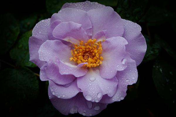 rose après la pluie #2