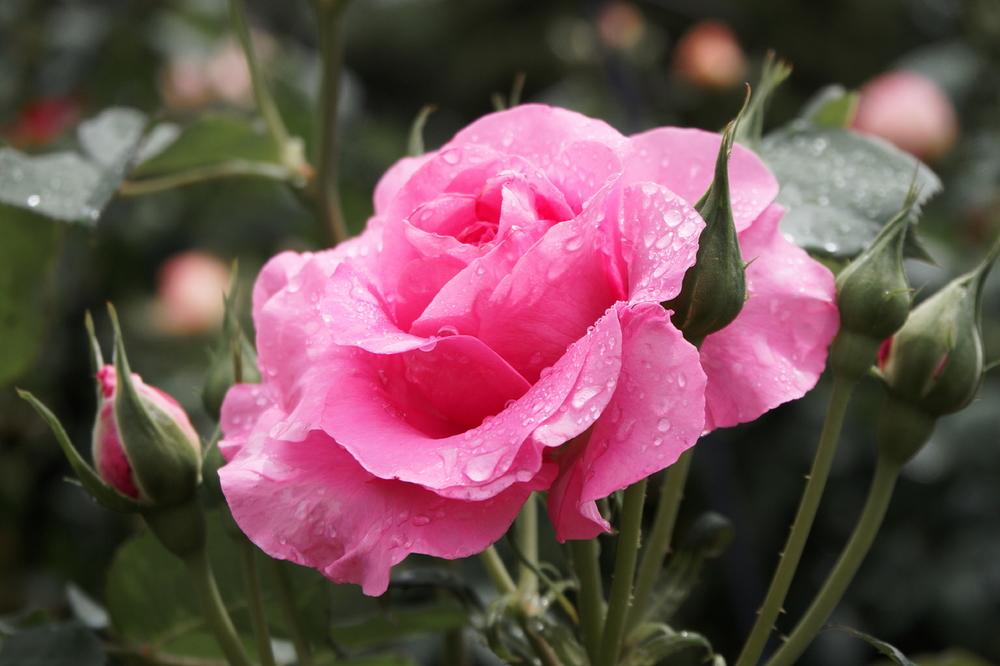 rose après la pluie #3