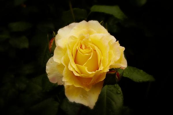 rose après la pluie #5