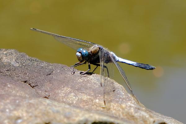 eyeglasses of dragonfly