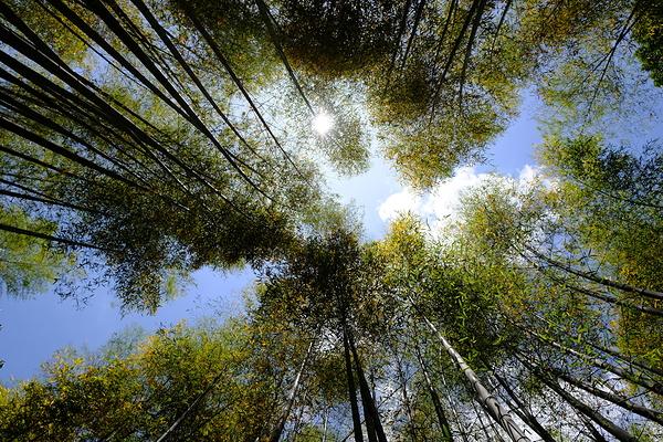 bamboo bush #1
