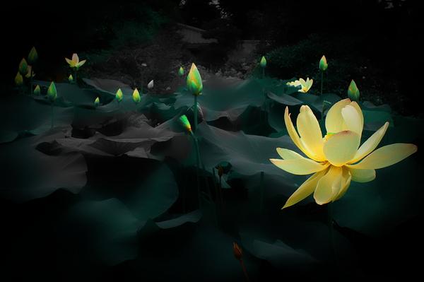 lotus #2  -candle-