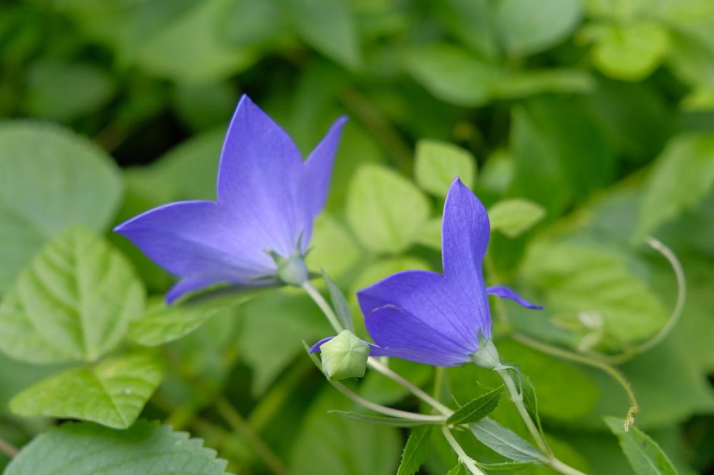 bell flower #2