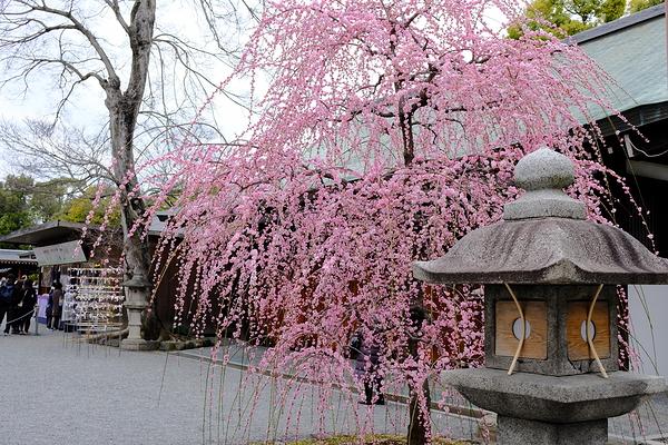 plum spring #1