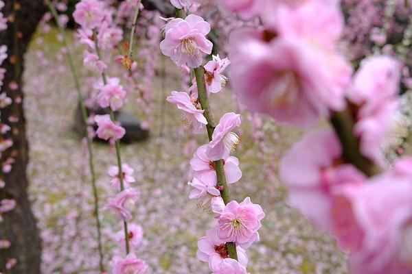 plum spring #5