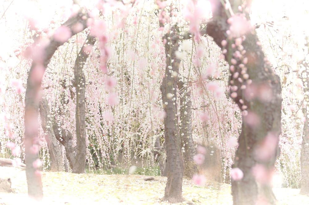 plum spring #6