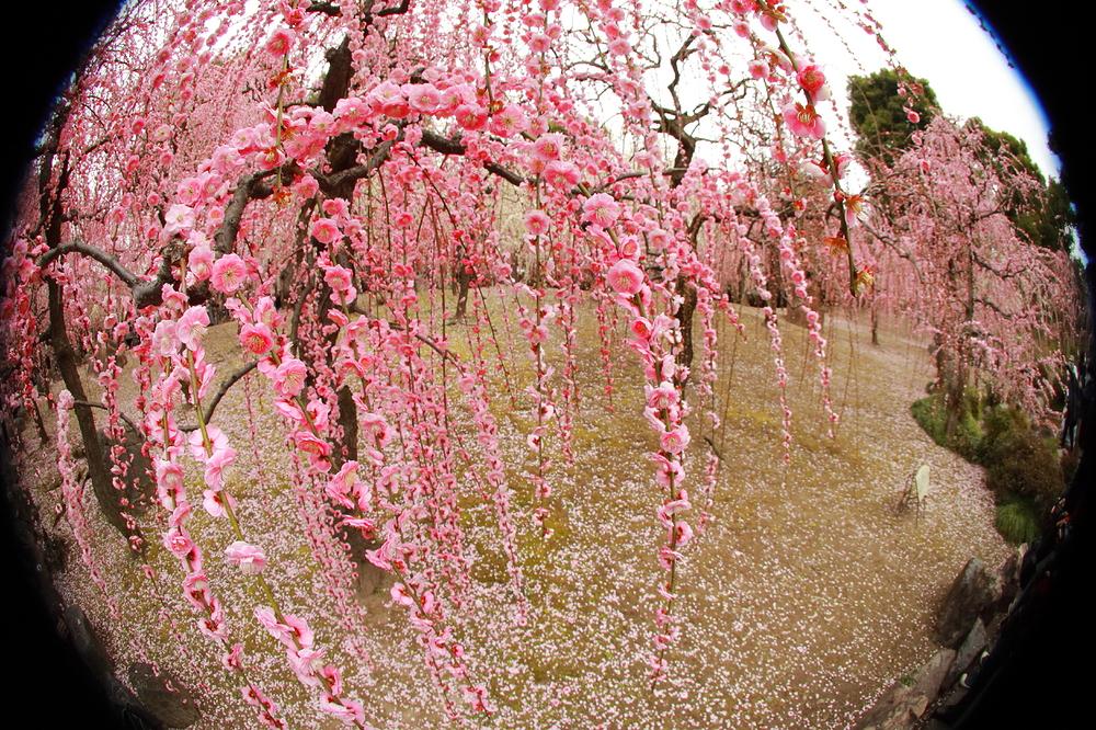 plum spring #8
