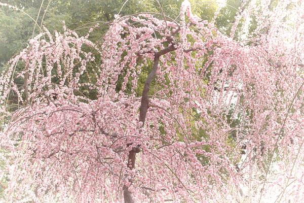 plum spring #13