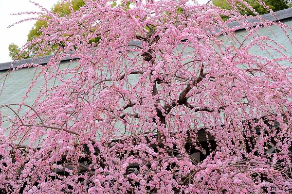 plum spring #15